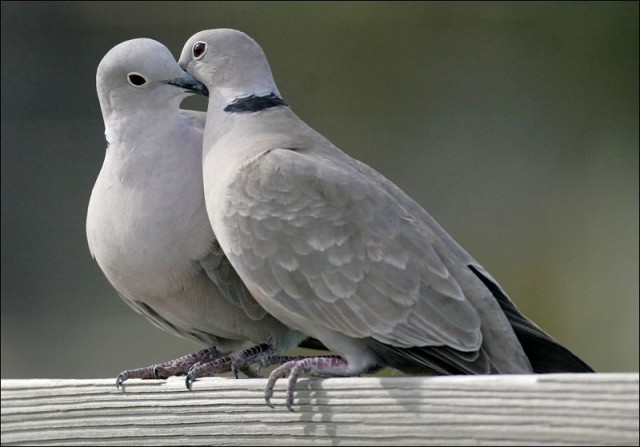 two-turtle-doves