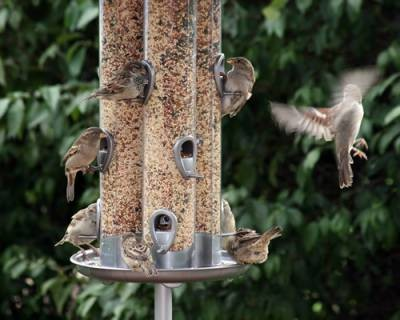 b2ap3_thumbnail_feeder-sparrows
