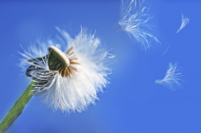 bigstock-dandelion-in-the-wind-222196761