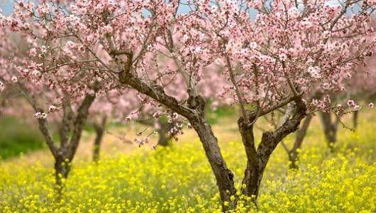 almond_trees_2.jpg.600x315_q80_crop-smart